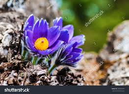 purple flower nature spring flowers blooming stock photo 369281873