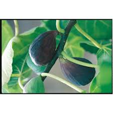 write a review about 3 25 gallon black mission fig tree l1323 at