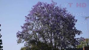 tree with purple flowers large jacaranda tree in bloom w blossoming purple lavender