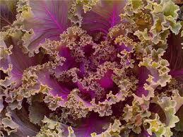 ornamental fringed mix kale baker creek heirloom seeds