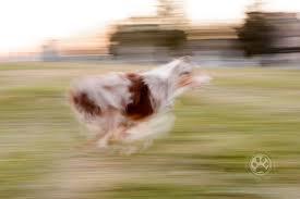 australian shepherd top speed 52 on friday panning and slow shutter speed northern va pet