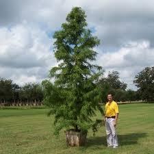 glen flora farms wholesale trees plants list bald