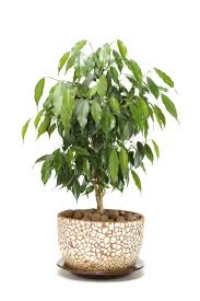 these easy indoor plants add green beauty to your home ficus