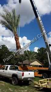 82 best medjool date palm trees images on palm trees