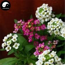 alyssum flowers 2018 buy sweet alyssum flower seeds plant lobularia maritima