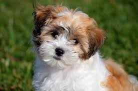 affenpinscher puppies for sale in ohio shichon puppies for sale in west virginia