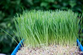wheatgrass benefits u2013 how to grow wheatgrass indoors and out
