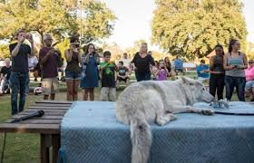 A Wolf At The Table Photos U2014 A Lesson On Wolves At The Fullerton Arboretum U2013 Orange
