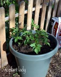 Container Gardening Potatoes - growing potatoes in a barrel this site has great instructions on
