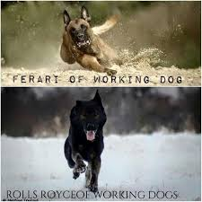 belgian malinois quotes 548 best k9 images on pinterest military dogs military working