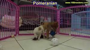 Alb Craigslist Free by Pomeranian Puppies Dogs For Sale In Albuquerque New Mexico