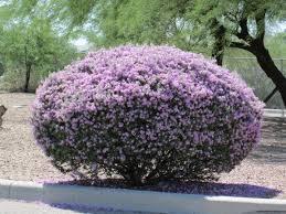 australian native plants with purple flowers sage bushes with purple flowers bring life to the desert u2013 tjs