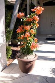 Bougainvillea Topiary - trellis u0026 column topiary creations