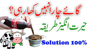 100 pics solution cuisine cow chara nahi kha rahi mnadi 2017 100 solution cow not
