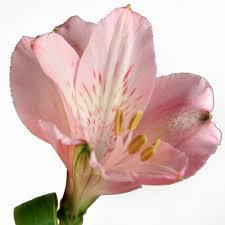 Alstroemeria Alstroemeria U2014 Bloom Expert