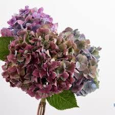 Purple Hydrangea Bloomstruck Hydrangea Hardy Heat Resistant Hydrangea