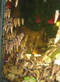 Where Can You Find Snails In Your Backyard All Efficient Ways To Get Rid Of Aquarium Snails