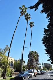 49 best california native plants about those palm trees u2013 gardeninacity