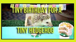 tiny birthday for a tiny hedgehog ep 2 youtube