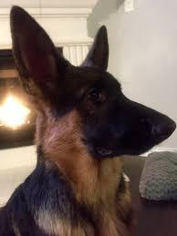 belgian sheepdog idaho 2016