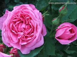 Fragrant Rose Plants - 260 best vintage roses images on pinterest vintage roses garden