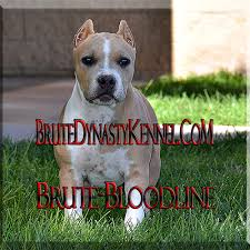 american pitbull terrier puppies for sale uk xl tri color bully pitbulls u0026 puppies pocket tri color bully