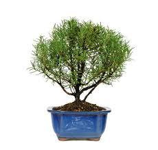 best 25 bonsai trees for sale ideas on bougainvillea