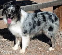 australian shepherd names male mott ranch australian shepherd puppies