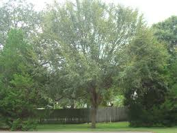 winged elm for sale wilcox nursery