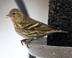 songbirds dying at birdfeeders pine siskins and salmonella bay