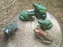 breeding whites tree frogs caudata org
