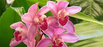 cymbidium orchid cymbidium orchids flower power