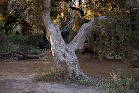 free photo trunk tree tree trunk tree free image on