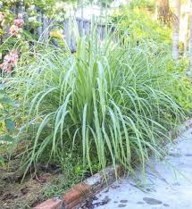 Backyard Mosquito Repellent by Backyard Lemongrass Mosquito Repellent Plants Growing Mosquito