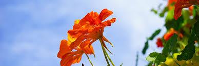 les fleurs comestibles en cuisine le saviez vous on peut manger plus de 250 fleurs consoblog les