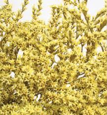 statice flowers german statice yellow 3 x 4 oz dried flowers r us
