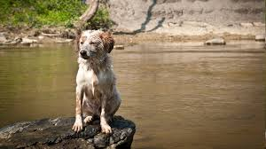 australian shepherd water dog river australian shepherd wet rock animals wallpapers hd