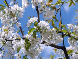 white cherry blossom cherry blossom white sky free photo on pixabay