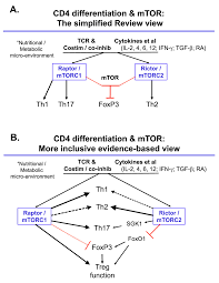 signaling in t cells u2013 is anything the m a tor with the picture s