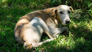 Rimadyl For Dogs Uses Dosage & Side Effects Dogtime
