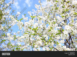cherry blossom spring blossom background blossom tree summer