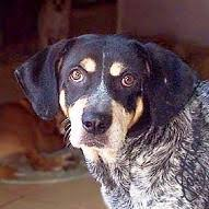 bluetick coonhound louisville ky blue tick coon hound animals pinterest