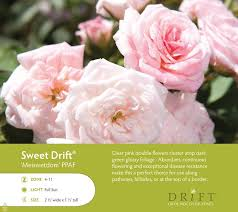 Roses For Sale The 25 Best Drift Roses Ideas On Pinterest Ground Cover Roses
