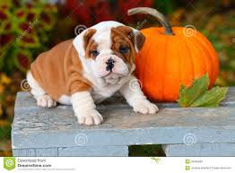 bulldog puppy sitting on garden bench with pumpkin stock