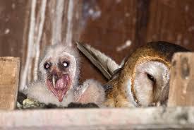 Barn Owl Photography Robin Loznak Photography Baby Barn Owls In Oregon