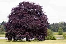 ornamental trees for sale ashridge trees