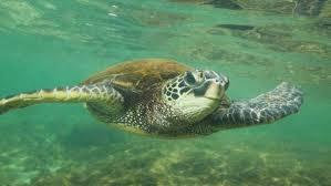 imagenes tortugas verdes histórica puesta de huevos de tortugas verdes en florida noticias
