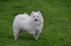 care for american eskimo dog american eskimo dog