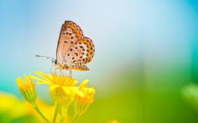 butterfly on yellow flower wallpaper 00256 baltana