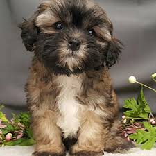 shi poo shihpoo puppy sale male sable sold bark avenue puppies